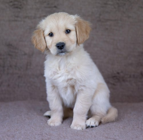 Introducing Tilly, our guide dog puppy